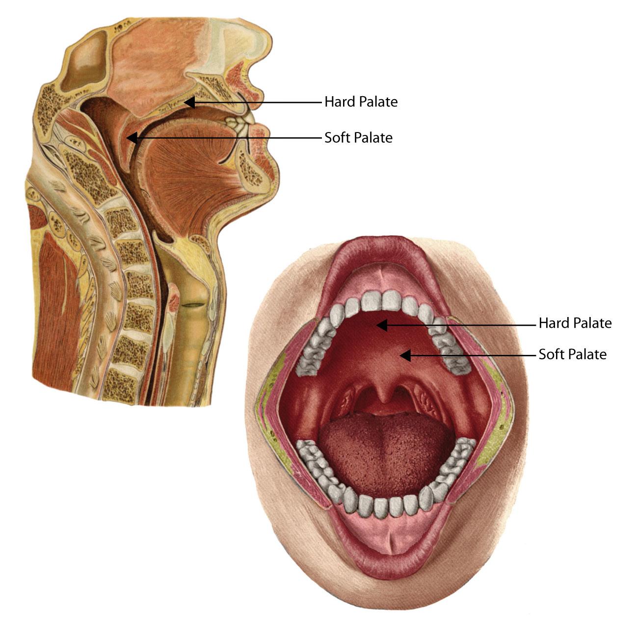 anatomyEXPERT - Soft palate - Structure Detail